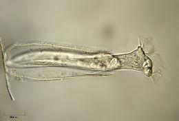 Image of <i>Thuricola operculata</i>