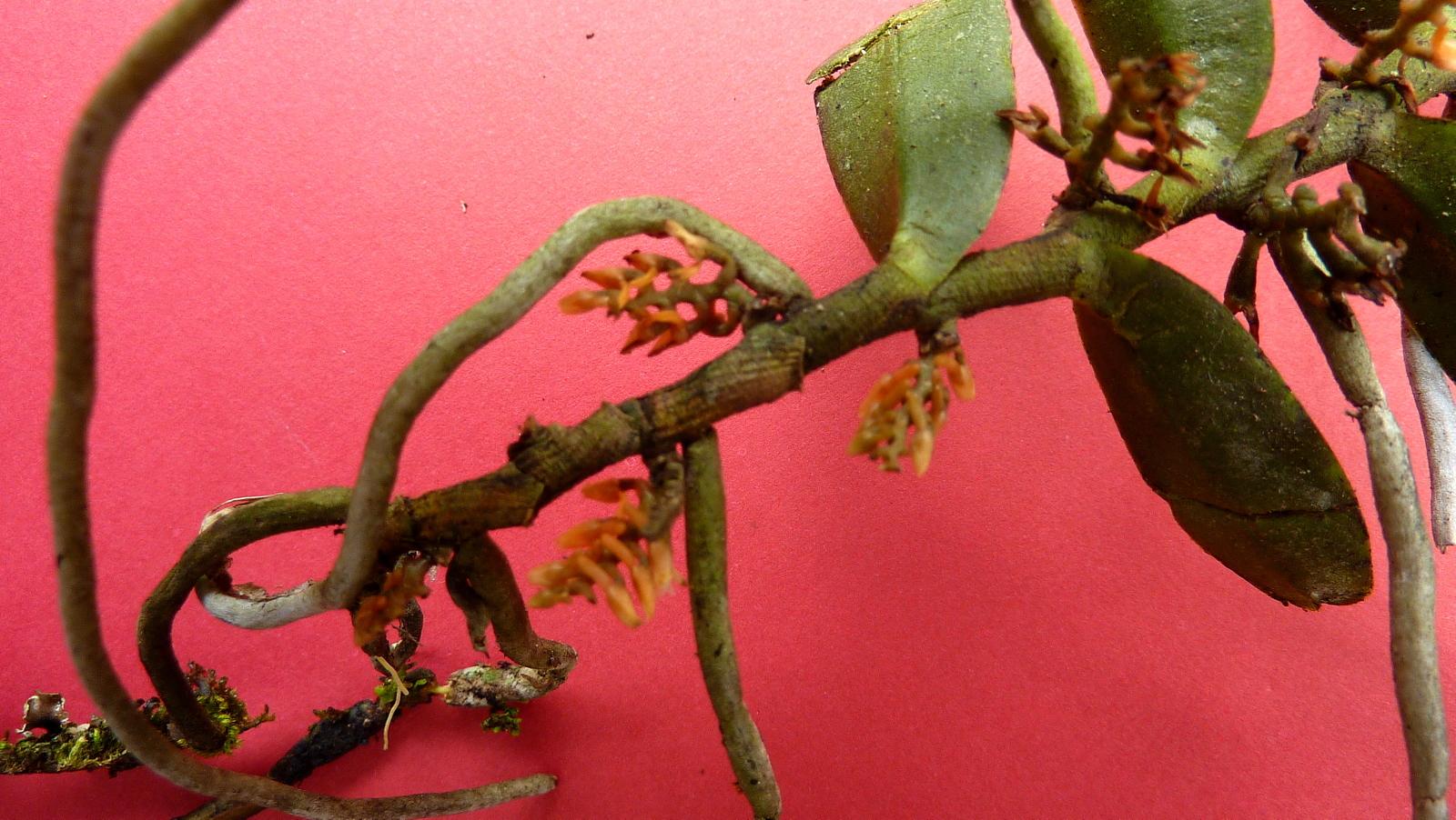 Image of <i>Campylocentrum crassirhizum</i> Hoehne