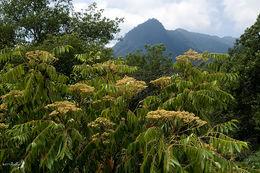 Image of tree-of-heaven