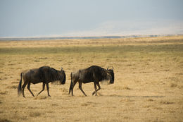 Image of Western white-bearded Wildebeest