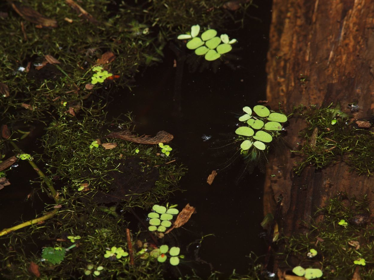 Image of floating watermoss