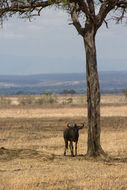 Image of Nyassaland Wildebeest