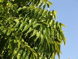 Image of neem