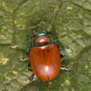 Image of Knotgrass Leaf Beetle