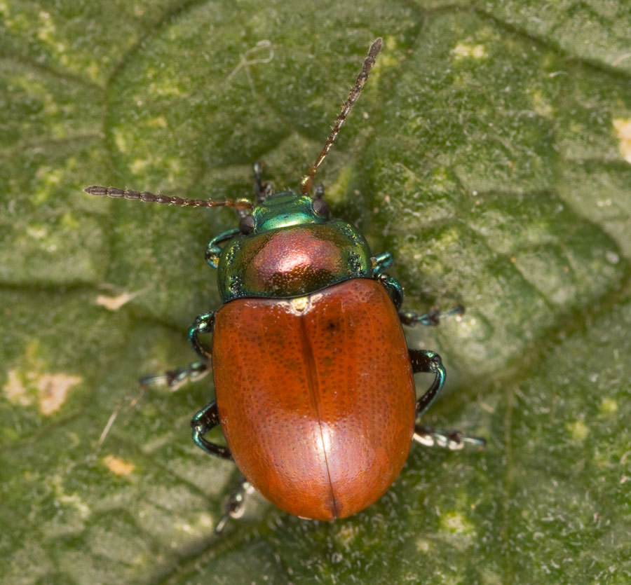 Image of Knotgrass Leaf Beetle