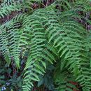 Image of bracken fern