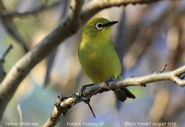 Image of Canary White-eye