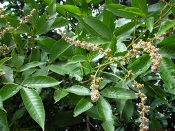 Image of <i>Vitex altissima</i> L. fil.