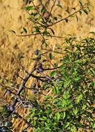 Image of sloe, blackthorn