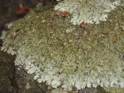 Image of <i>Xanthoparmelia somlonsis</i>