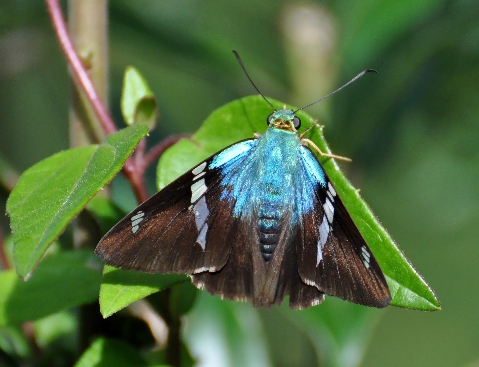 Image of <i>Astraptes fulgeratus</i>