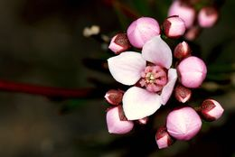 Image of Granite Boronia