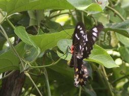 Image of <i>Ornithoptera priamus</i> ssp. <i>euphorion</i> Gray 1852