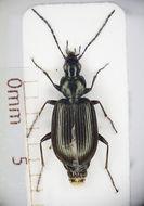Image of <i>Agonum</i> (<i>Europhilus</i>) <i>micans</i> (Nicolai 1822)