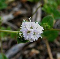 Image of anena