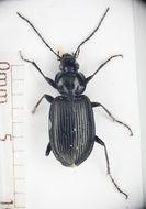 Image of <i>Agonum moestum</i>