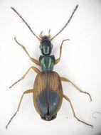 Image of <i>Agonum dorsale</i>