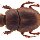 Image of <i>Onthophagus imbutus</i> Sharp 1875
