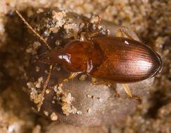 Image of <i>Calathus</i> (<i>Neocalathus</i>) <i>mollis</i> (Marsham 1802)
