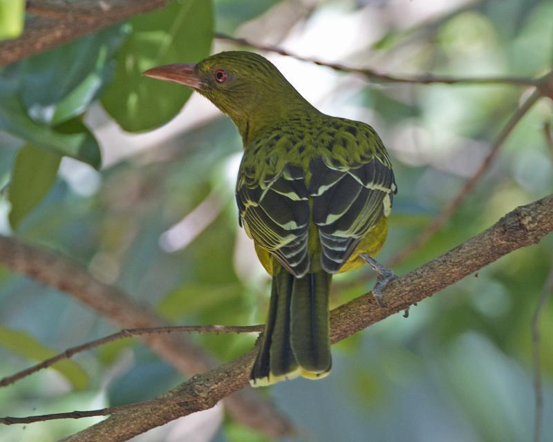 Image of Green Oriole
