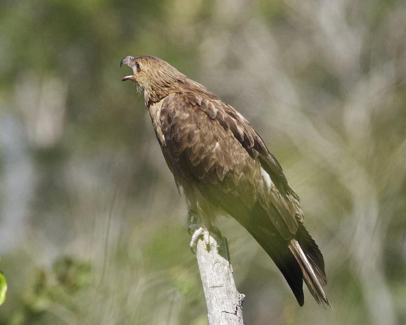 Image of Whistling Kite