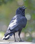 Image of <i>Corvus orru cecilae</i> Mathews 1912
