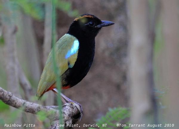 Image of Rainbow Pitta