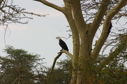 Image of African Fish-Eagle