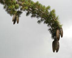Image of sugar pine