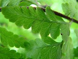 Image of limpleaf fern