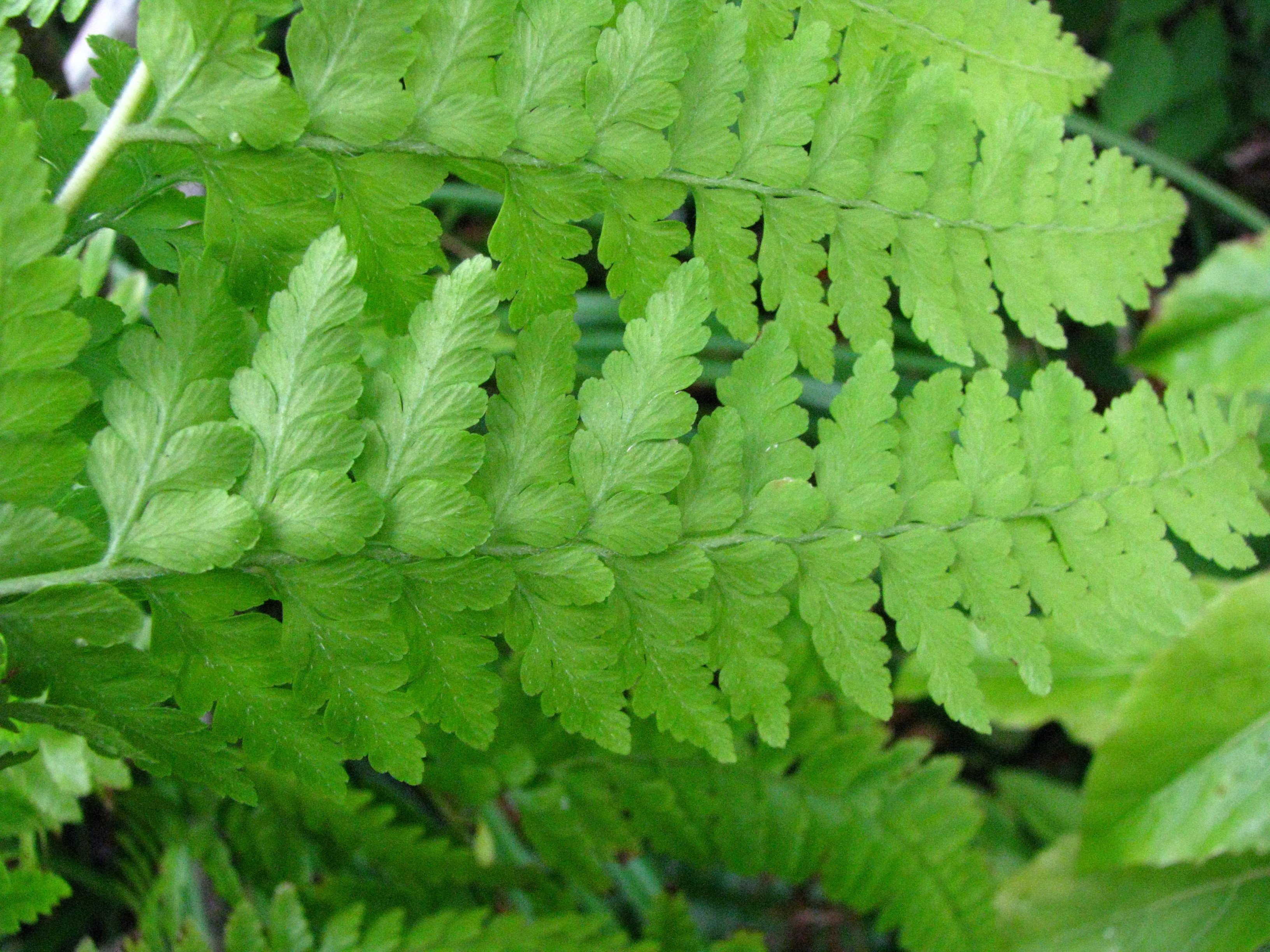 Image of limpleaf fern