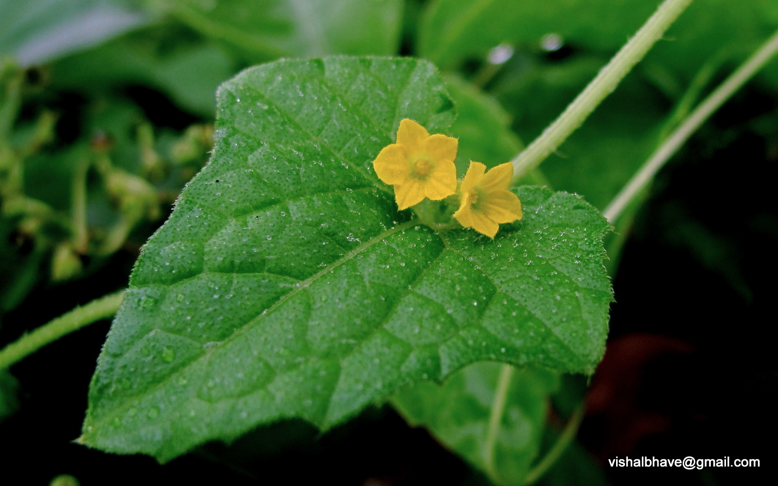 Image of Bristly bryony