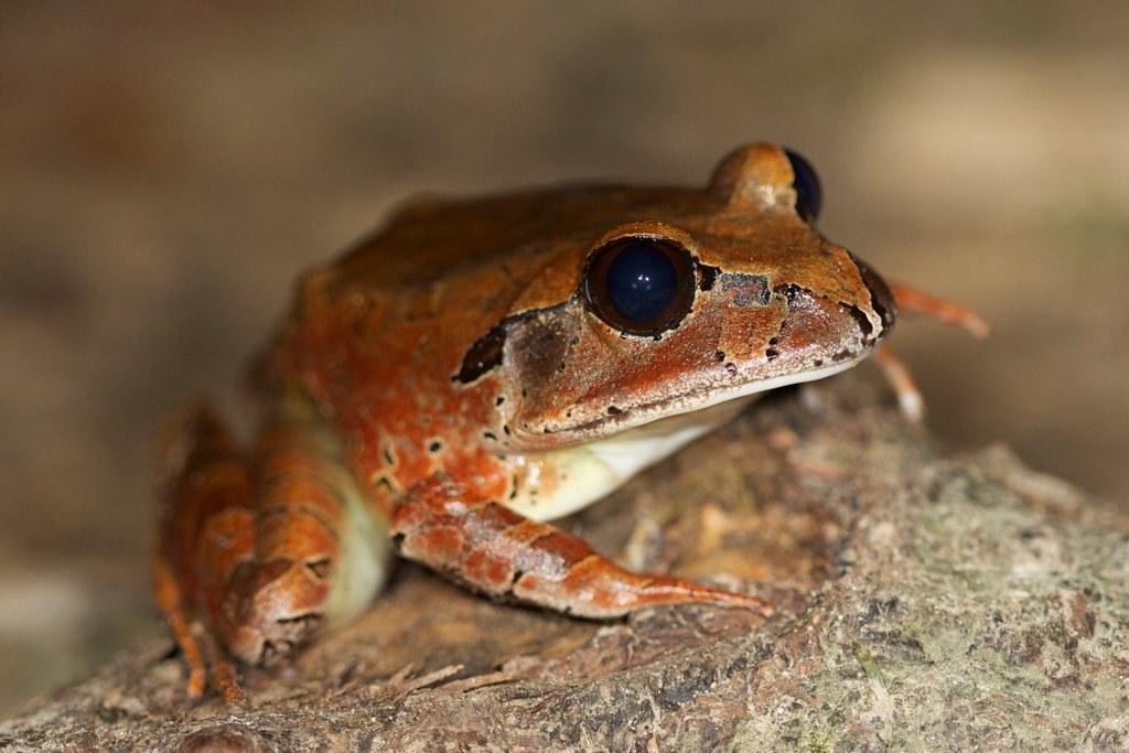 Image of Northern Barred Frog