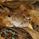 Image of Ornate Burrowing Frog