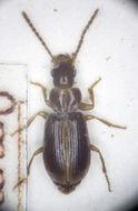 Image of Carabidae