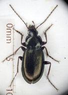 Image of <i>Calathus</i> (<i>Neocalathus</i>) <i>metallicus</i> Dejean 1828