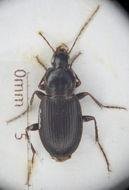 Image of <i>Calathus piceus</i>