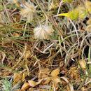 Image of <i>Phlomis lychnitis</i> L.