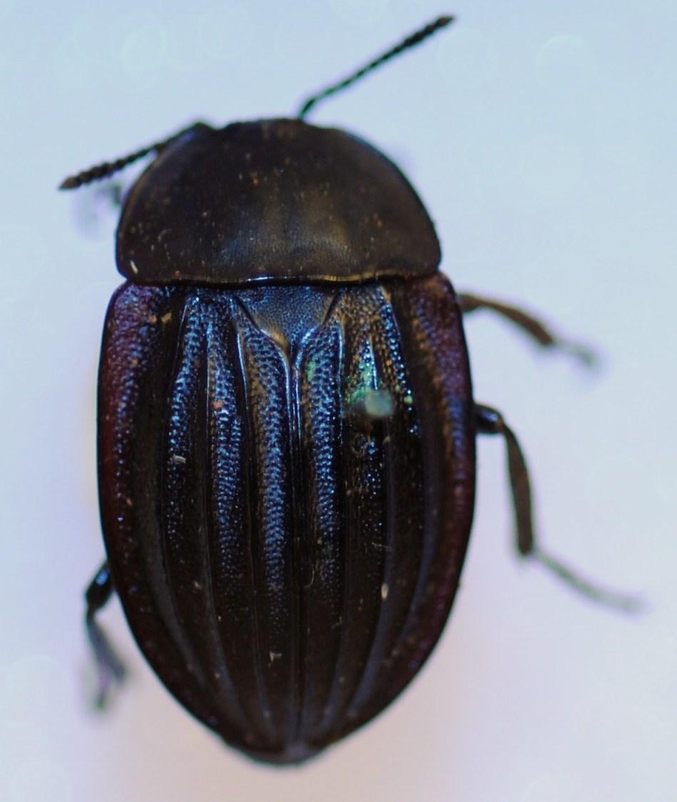 Image of <i>Silpha punctulata</i>