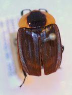 Image of <i>Necrophila</i> (<i>Calosilpha</i>) <i>ioptera</i> (Kollar & L. Redtenbacher 1844)