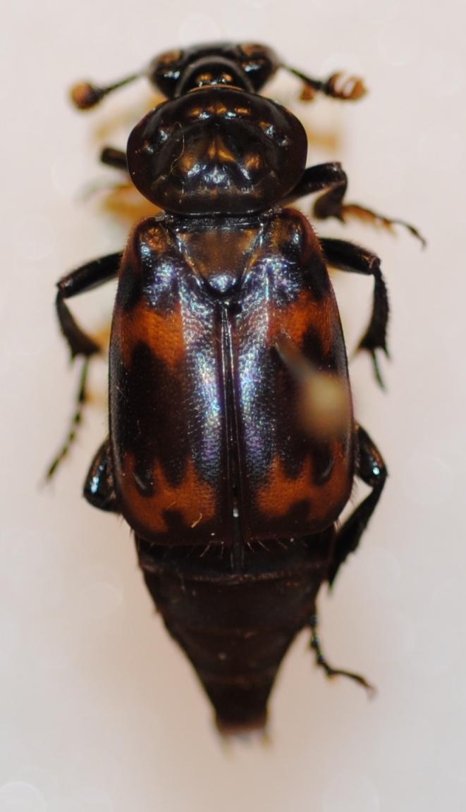 Image of <i><i>Nicrophorus</i></i> (Nicrophorus) <i>podagricus</i> (Portevin 1920)