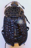 Image of <i>Thanatophilus sagax</i> (Mannerheim 1853)