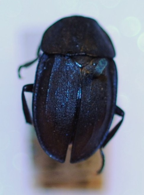 Image of <i>Aclypea souverbii</i> (Fairmaire 1848)