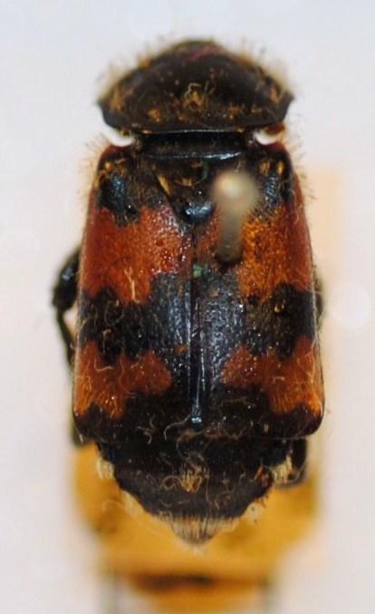 Image of <i><i>Nicrophorus</i></i> (Nicrophorus) <i>antennatus</i> (Reitter 1884)