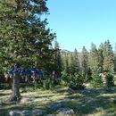 Image of Siberian spruce