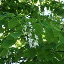 Image of Kentucky yellowwood