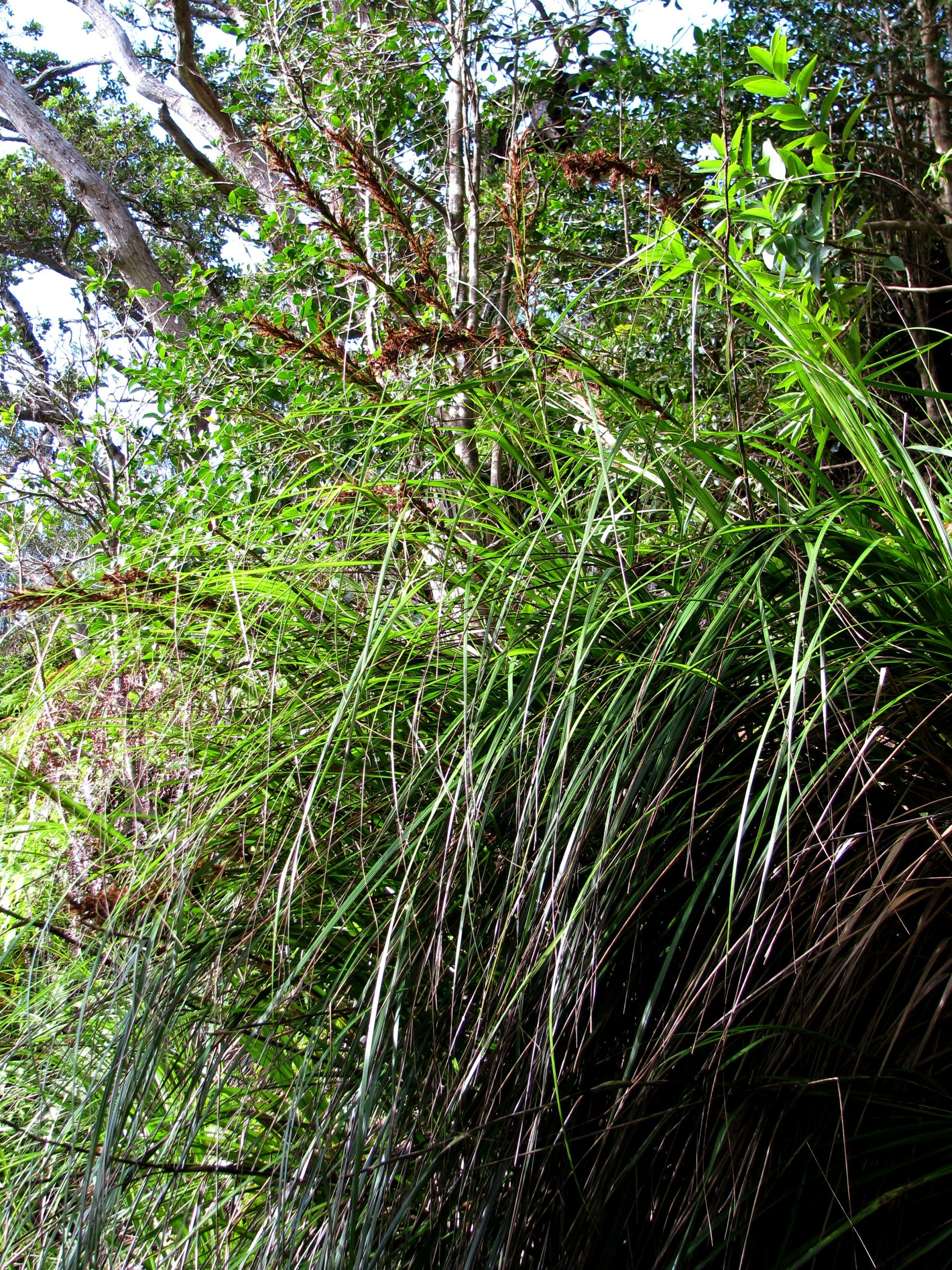 Image of forest sawsedge