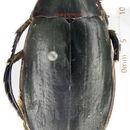 Image of <i>Dytiscus circumcinctus</i> Ahrens 1811