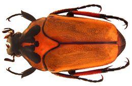 Image of <i>Lomaptera bicolorata</i>