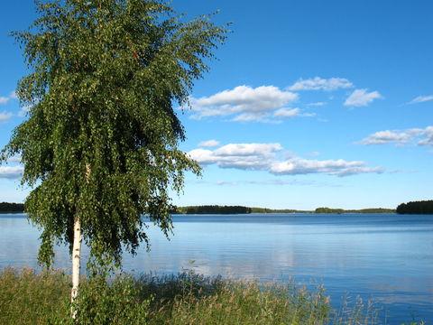 Image of Common Birch
